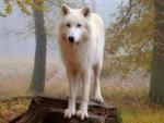 proud white wolf