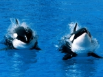 pair of Orca whales
