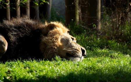 even kings need to rest - predator, special, jungle, beautiful, photoshop, camaflauge, lion, even kings need to rest