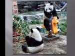 2 Panda bears playing