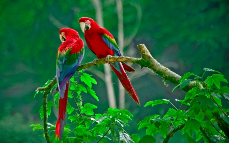 *** Parrots *** - bird, birds, parrots, animals, animal
