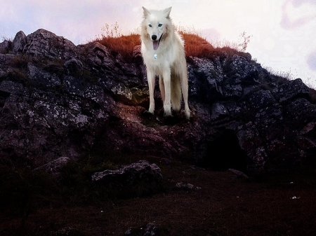 come and see - howl, canine, wolf pack, friendship, grey, mythical, majestic, wisdom beautiful, dog, arctic, abstract, winter, spirit, wolf wallpaper, grey wolf, wolfrunning, nature, wolf, howling