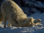 Playful white wolf