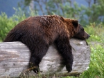 Sleeping Grizzly