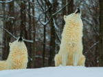 howling white wolves