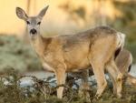 *** Deers ***