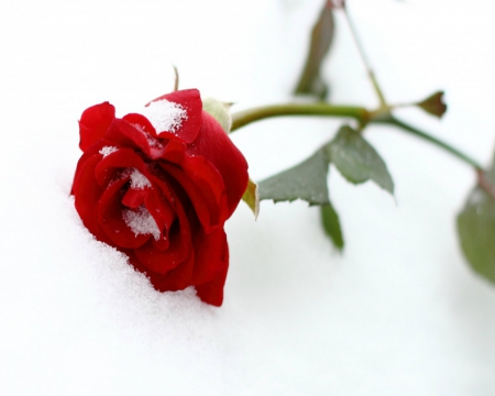 The snow rose flowers nature background wallpapers - Rose in snow wallpaper ...