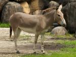 Nubian donkey