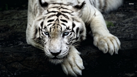 Scary White Tiger - white tiger, siberian tiger, scary tiger, bengal tiger, tiger, Scary White Tiger