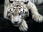 Scary White Tiger