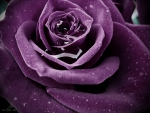 Purple rose drop