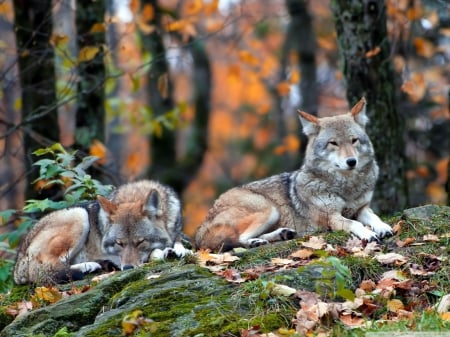 2 wolves - lobo, timber, canis lupus, snow, quotes, solitude, wolf, white, friendship canine, lone wolf