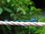 Libelula azul