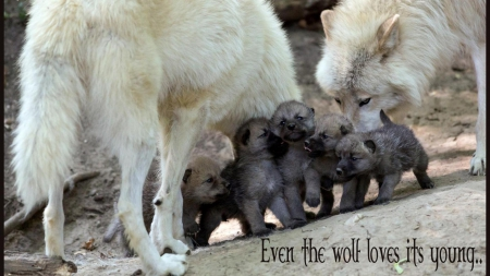 wolf wisdom - animal, solitude, quotes, wild, the pack, pack, lobo, black, timber, canis lupus, snow, wolf, wolf wisdom, wolves, white, lone wolf, friendship canine