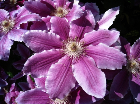 Clematis - lilac, cloose-up, summer, flowers, clematis