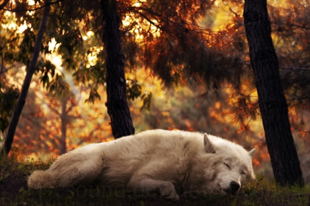 sleeping wolf - sleeping wolf, black, animal, timber, quotes, wild, the pack, wolf, wolves, white, pack, lone wolf