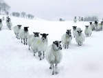 herd of sheep in v formation in winter