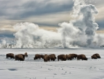 bison grazing in winter at yellowstone