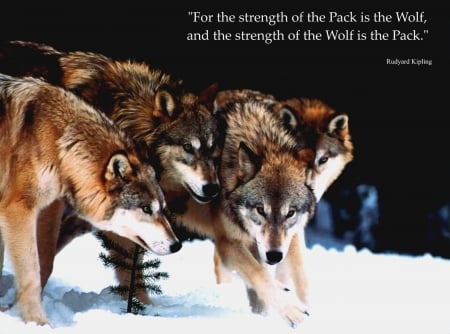 wolf wisdom - black, animal, timber, quotes, wild, the pack, wolf, wolf wisdom, wolves, white, pack, lone wolf