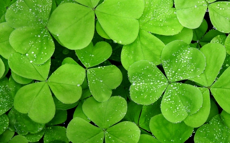 Clover - leaves, clover, plant, nature, leaf
