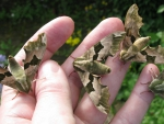 lime hawk moths