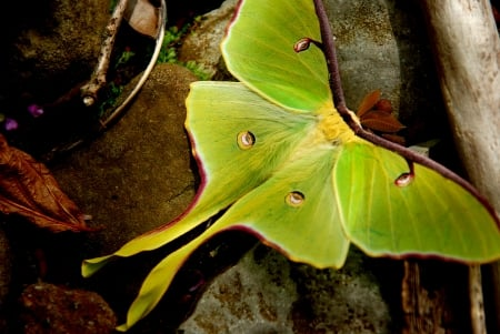Arkansas luna moth - shine, two, tails, silky