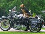 harley with gard dog