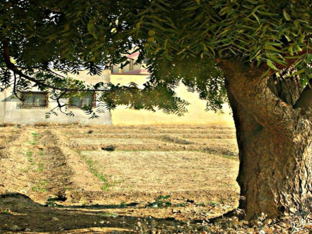 tree shadow - farm, tree, green, shadow, nature, neemtree