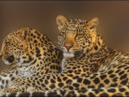 leopards - predator, special, leopards, wallpaper, beautiful, cats