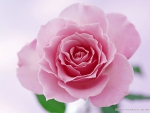 beautiful pink rose for emma
