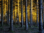 Golden Light of an Enchanted Forest