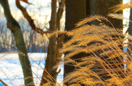 Glowing Grasses in Winter - grass, winter, nature, tree