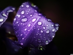 dew_on_purple_petals