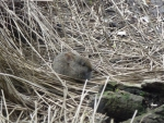 Columbia pygmy rabbit