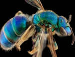 blue and green metallic bee