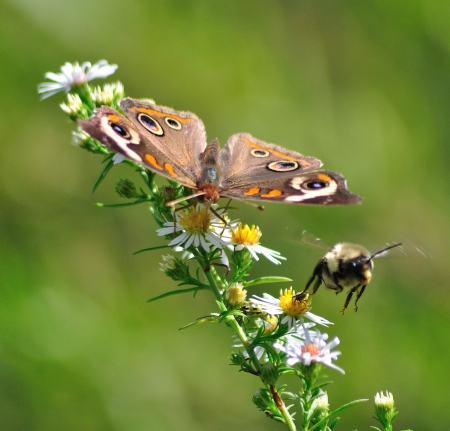 Insects pollinating together - bee, flowers, butterfly, nectar
