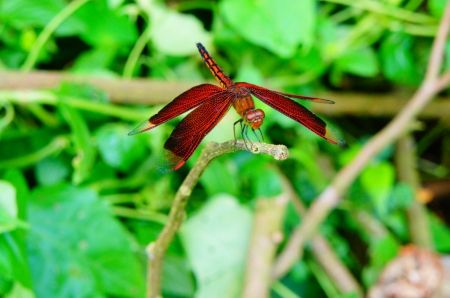Red Dragonfly - Dragonfly, leaves, Red, green