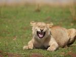 stupid lion !!