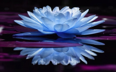 Mirrored Blue Lotus Flowers Nature Background Wallpapers On
