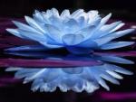 Mirrored Blue Lotus