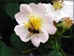 rosa canina e ape
