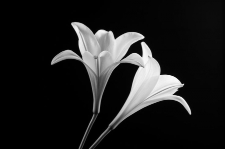Minimalist - nice, black and white, flowers, beautiful, minimalist, scenary