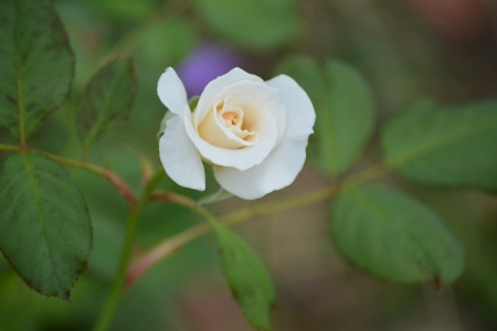 White rose bud - pretty, free, gardening, rose, Nikon D5200, DesktopNexus, beautiful, photography, wallpaper, rose bud, tripod, white rose bud, romance, dslr, shellandshilo, wedding, happy, copyright free, Valentines Day, tiny, macro, flower, digital, garden, nature, white, horticulture