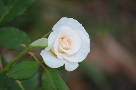 White Rose Bud 2 - pretty, white rose bud, free, lovely, rose, DesktopNexus, shellandshilo, copyright free, photography, love, flower, rose bud