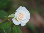 White Rose Bud 2