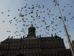 Pigeons flying in dam square
