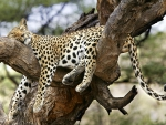 Jaguar sleeping on a tree