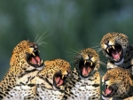 growling jaguar cubs
