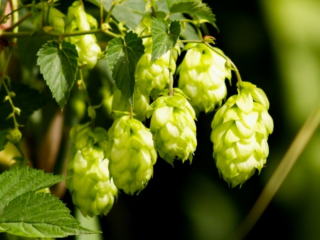 Hops Other Nature Background Wallpapers On Desktop Nexus Image