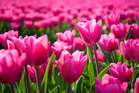 Beautiful field of pink tulips hot - pink hot, nature, beautiful, tulips, field